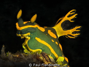 Tambja gabrielae, Nudibranch, Lembeh, North Sulawesi, Ind... by Paul Flandinette 